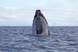 Walbeobachtung rund um Nuqui