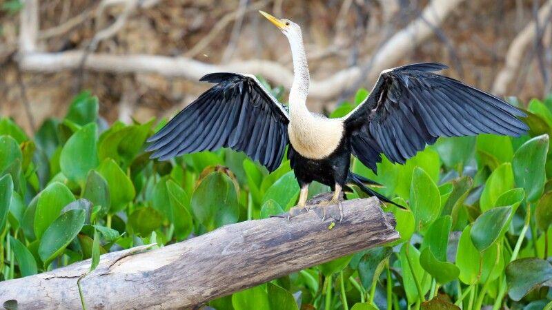 Schlangenhalsvogel mit ausgebreiteten Flügeln © Diamir