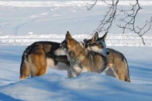 Huskys sind sehr soziale Tiere