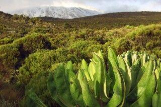 Grüne Heide- und Moorlandschaft amKilimanjaro