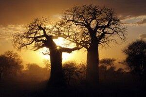 Baobab-Bäume im Abendlicht