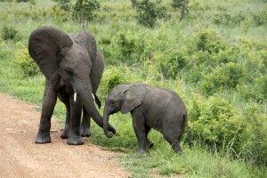 Junge Elefanten im Mikumi NP