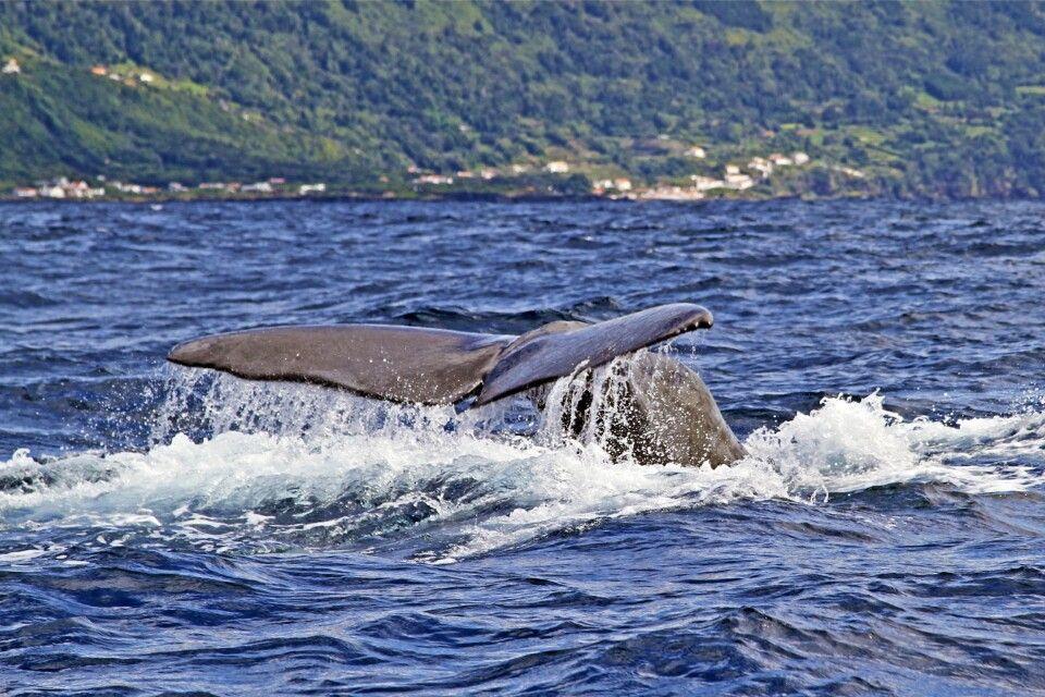 Walbeobachtung von Pico aus