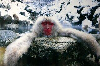 Schneeaffe bei Nagano