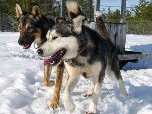 Die Hunde können es kaum erwarten zu laufen
