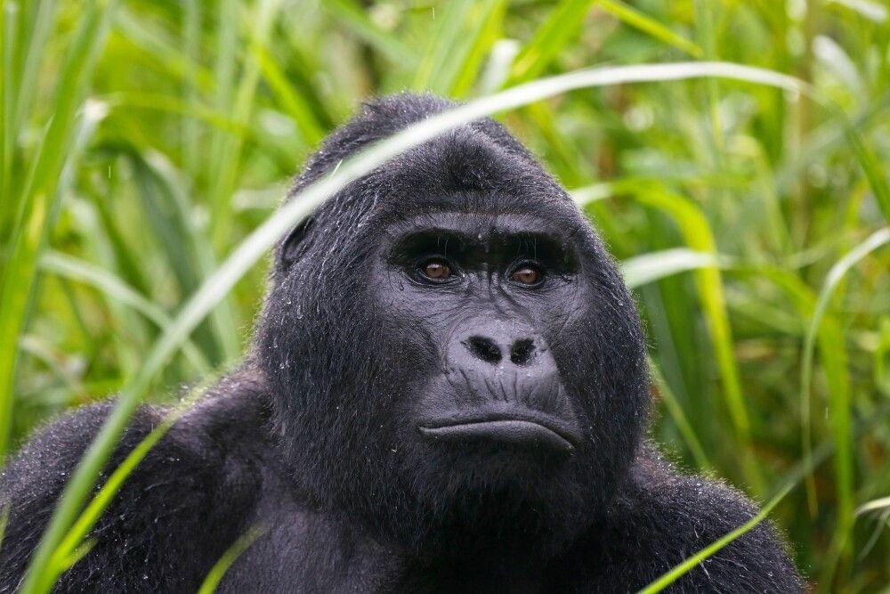 Gorilla schaut