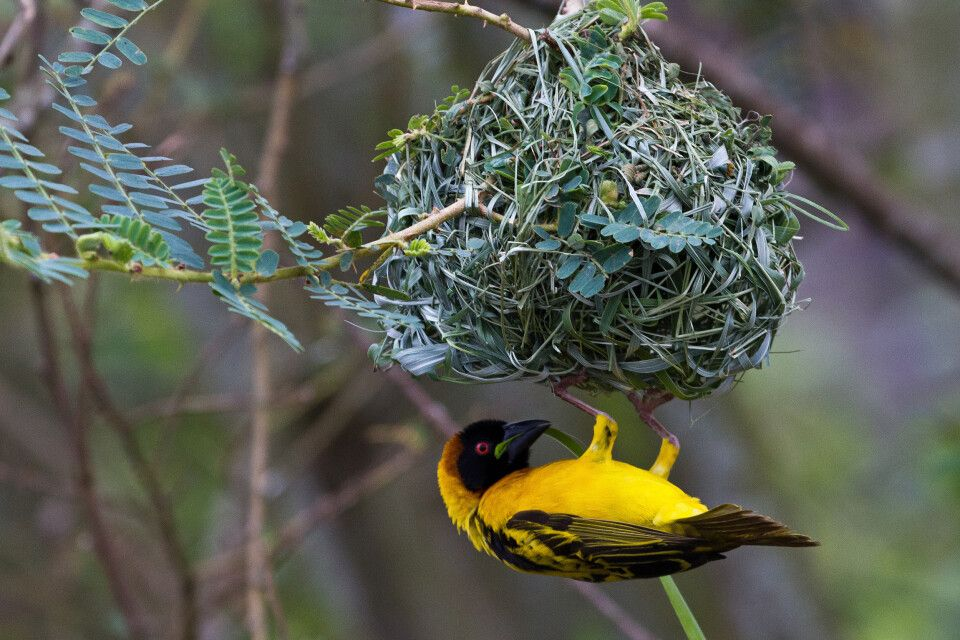 Webervogel am Nest