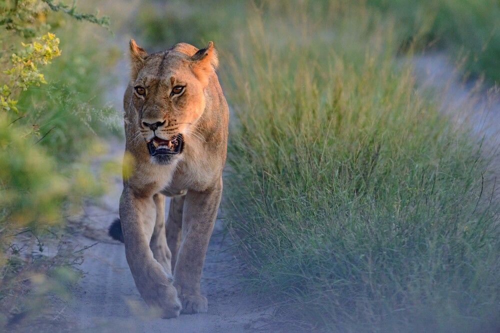 Löwin
