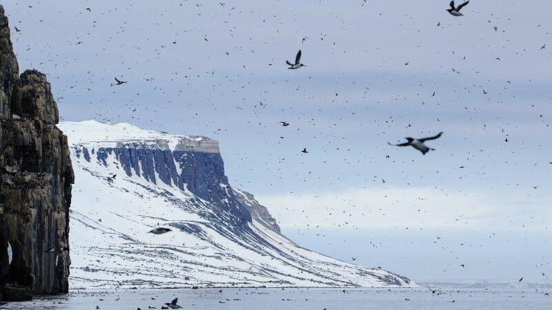 Dichter Flugverkehr am Vogelfelsen Alkefjellet © Diamir