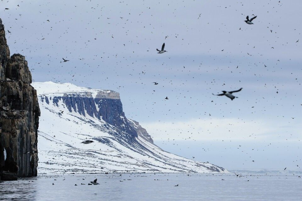 Dichter Flugverkehr am Vogelfelsen Alkefjellet