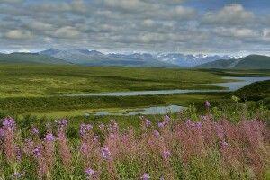 Blühende Wiesen im Denali NP