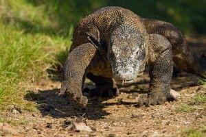 Waran im Komodo NP