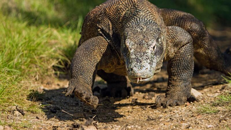 Waran im Komodo NP © Diamir