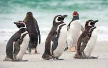 Magellanpinguine auf Falkland