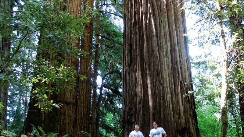 Gigantische Redwood-Bäume © Diamir