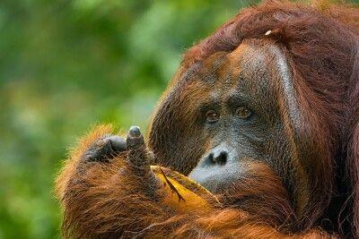 Orang-Utan-Männchen im Tanjung Puting NP