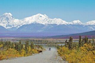 Ein Elch kreuzt den Denali Highway