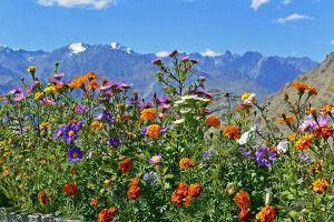Blick vom Kloster Likir durch Blumen zur Zanskar Range nach Süden