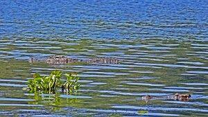 Siam-Krokodil (Crocodylus siamensis)