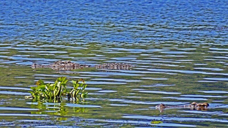 Siam-Krokodil (Crocodylus siamensis) © Diamir