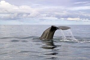 Walbeobachtung in Sri Lanka