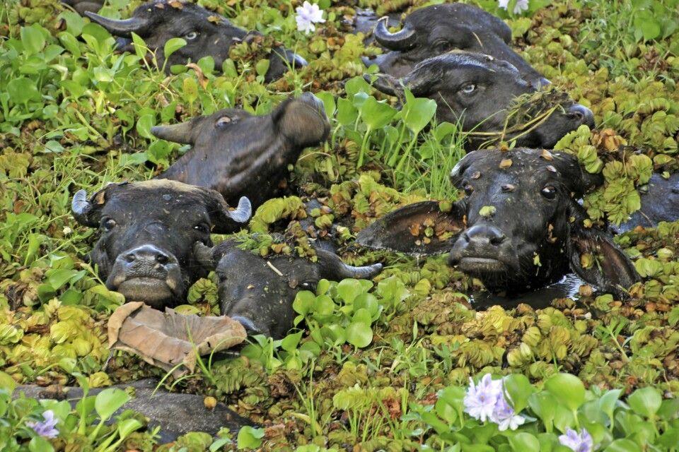 Wasserbüffel überall