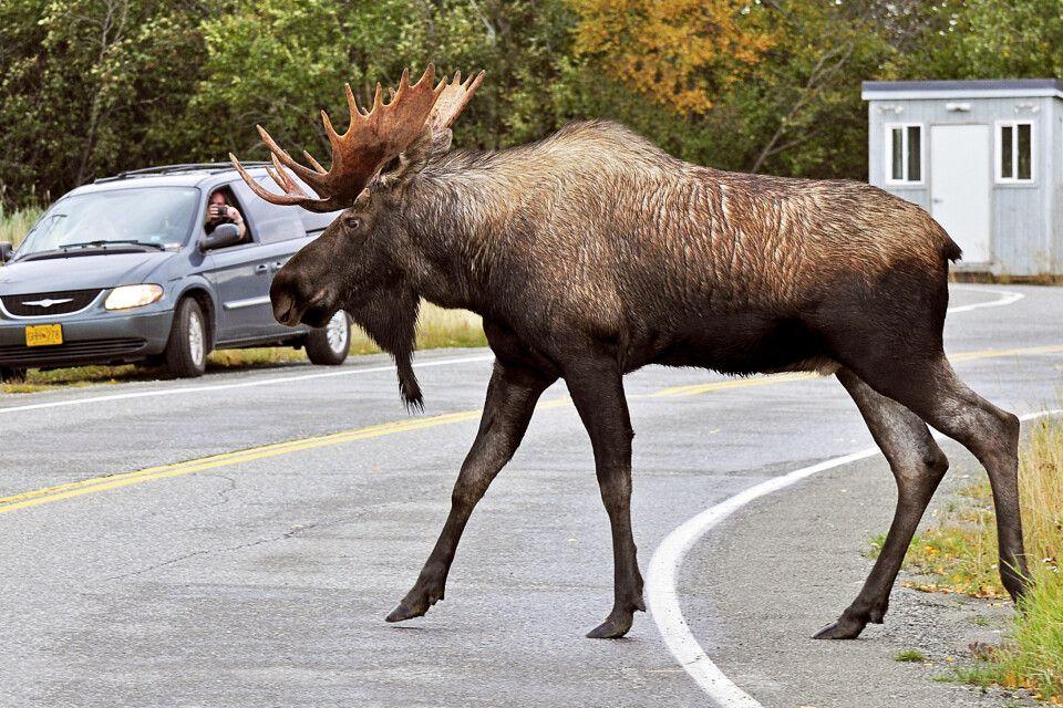 Ein Elch überquert die Straße in Anchorage