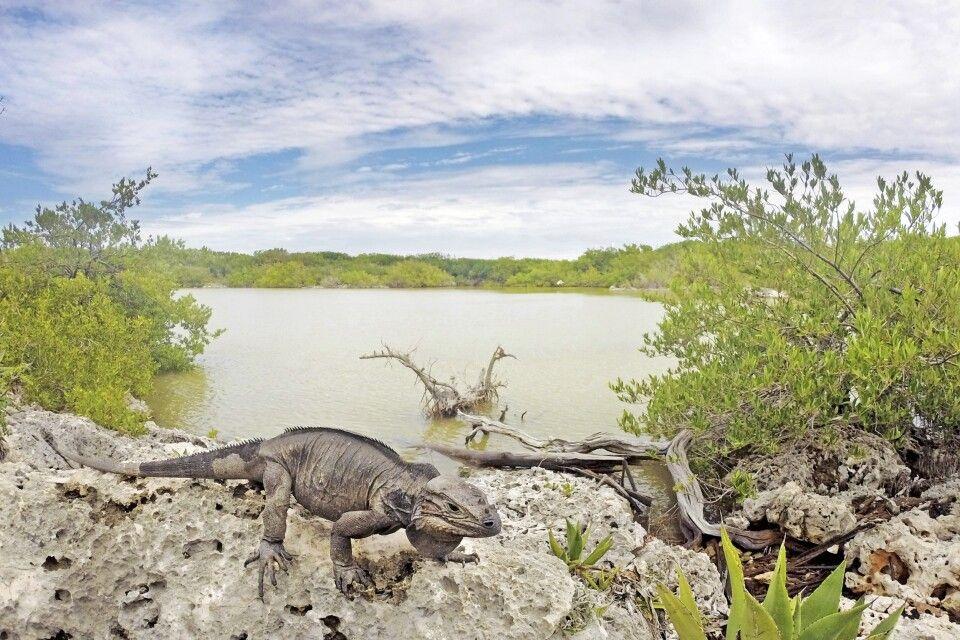 Ein Leguan an der Laguna Oviedo