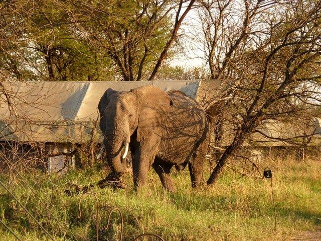 Ein Elefant im Olakira Camp