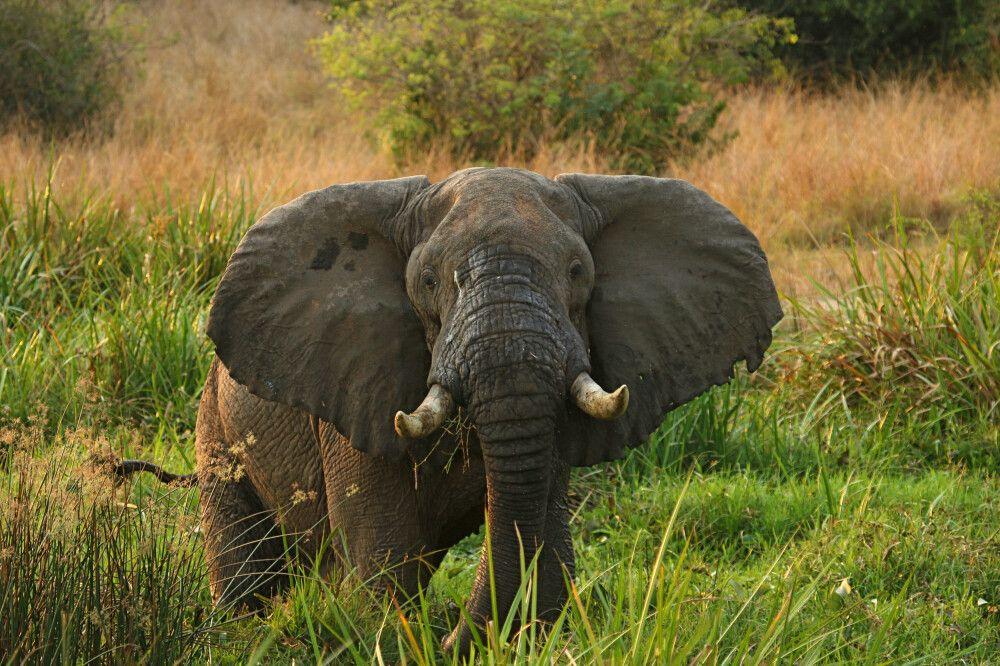 Elefant im Murchison Falls NP