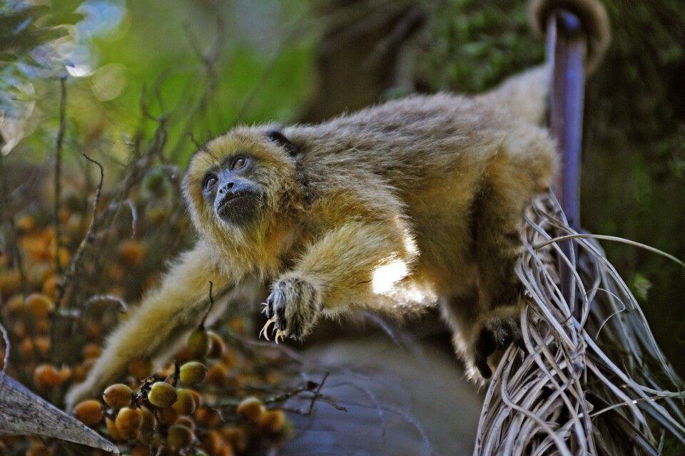 Neugieriges Äffchen im Ibera-Sumpfgebiet