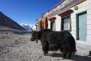 Yak in Rongbuk am Mount Everest