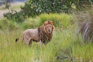 Löwe im Okavango Delta