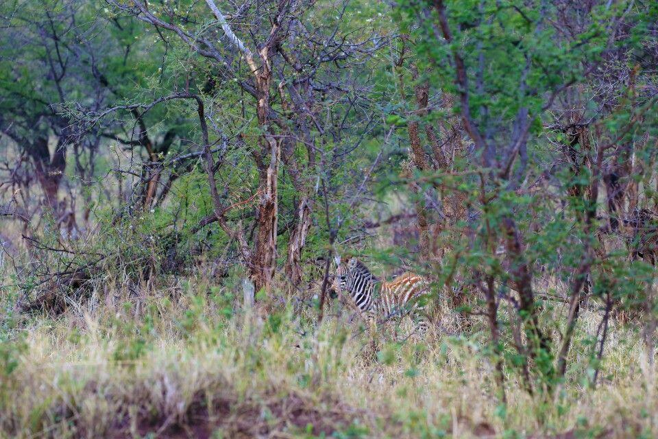 Gut versteckt bringt Sicherheit. Hier ein junges Zebra mitten im Gestrüpp. Solche Aufnahmen muss man mit manueler Focuseinstellung aufnehmen, um diesen Effekt erzielen zu können. Manchmal braucht es mehrere Versuche, bis die Schärfe dann doch richtig sitzt und ein erkennbar großes Detail des Zebras zu sehen ist. Erst auf den 2. Blick so richtig zu sehen.