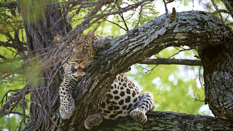 Ein exzellenter Safarifahrer ist die halbe Miete, ein gutes Teleobjektiv die andere Hälfte. Wenn der Leopard im Wirrwarr der Äste dann doch gefunden ist, ist es eine Frage des richtigen Blickwinkels und der richtigen Brennweite, um ein packendes Bild erze © Diamir