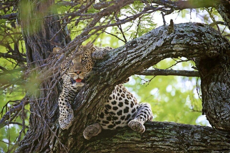 Dieser Leopard ist satt