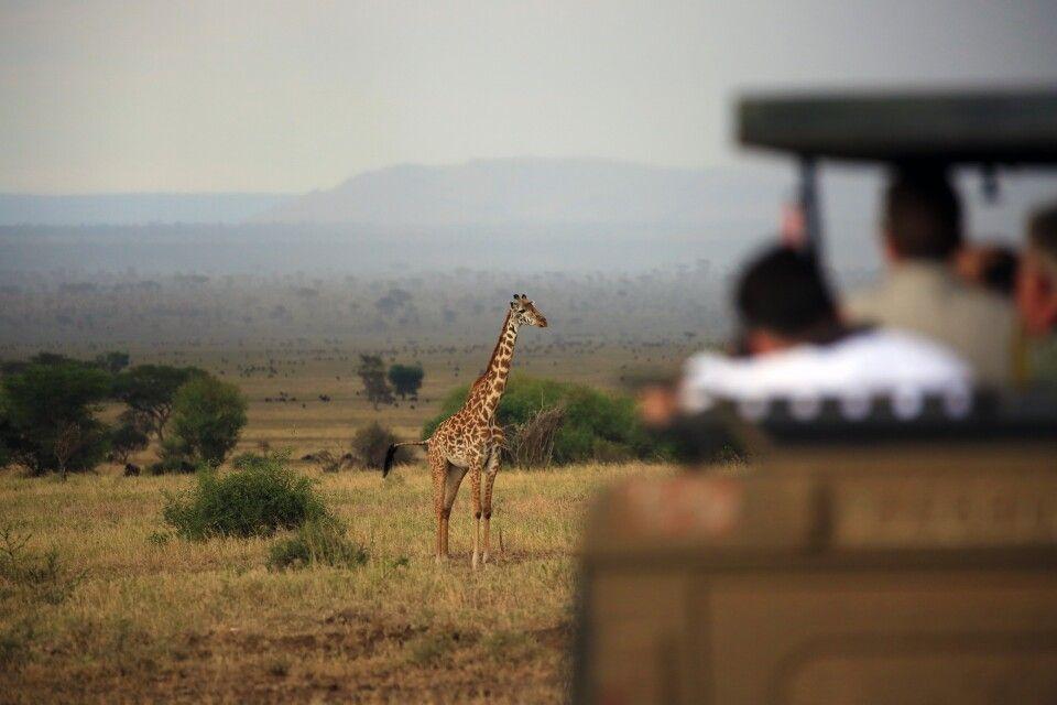 Tiefenschärfe im Einsatz! Hier wird der Fotograf im anderen Fahrzeug einfach unscharf abgebildet und die Giraffe in der Ferne der Serengeti scharf. Das bringt Tiefe ins Motiv und zeigt natürlich obendrein auch noch die unendliche Ausdehnung der Serengeti, die man im Hintergrund erahnen kann.