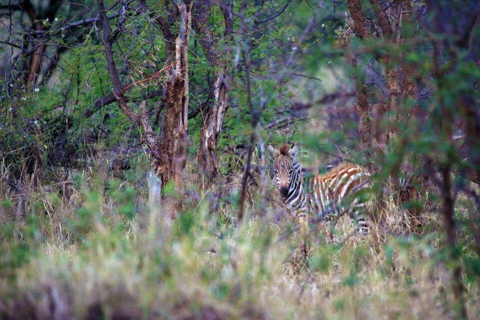 Noch besser getroffen? Vermutlich ja. Das Zebra schaut noch den Betrachter an und die Farben der Streifen passen zu den Stämmen der Bäume. Gut getarnt. Solche Aufnahmen sind mit der entsprechenden Ruhe und dem Schwerpunkt auf das Thema Fotografie bei den Fotoreisen möglich.