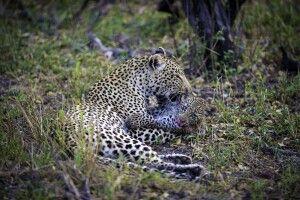 Leoparden im South Luangwa NP