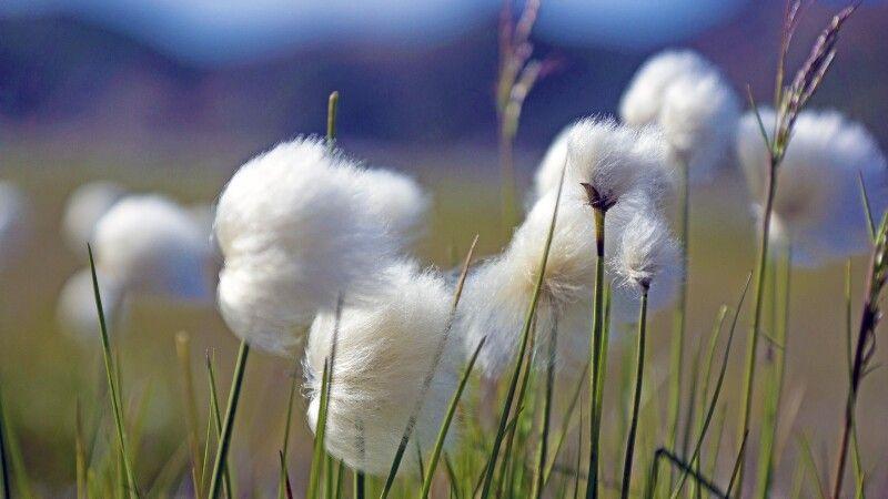 Wollgras im Wind © Diamir
