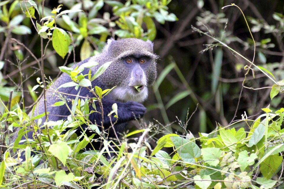 Diademmeerkatze im Arusha Nationalpark