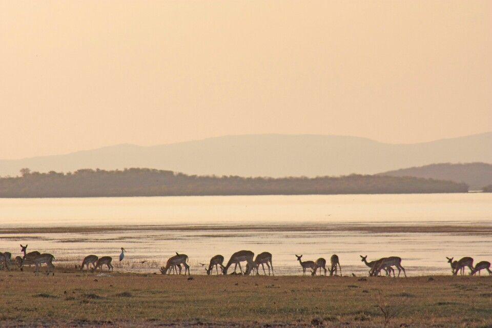Antilopenherde, Karibasee, Simbabwe