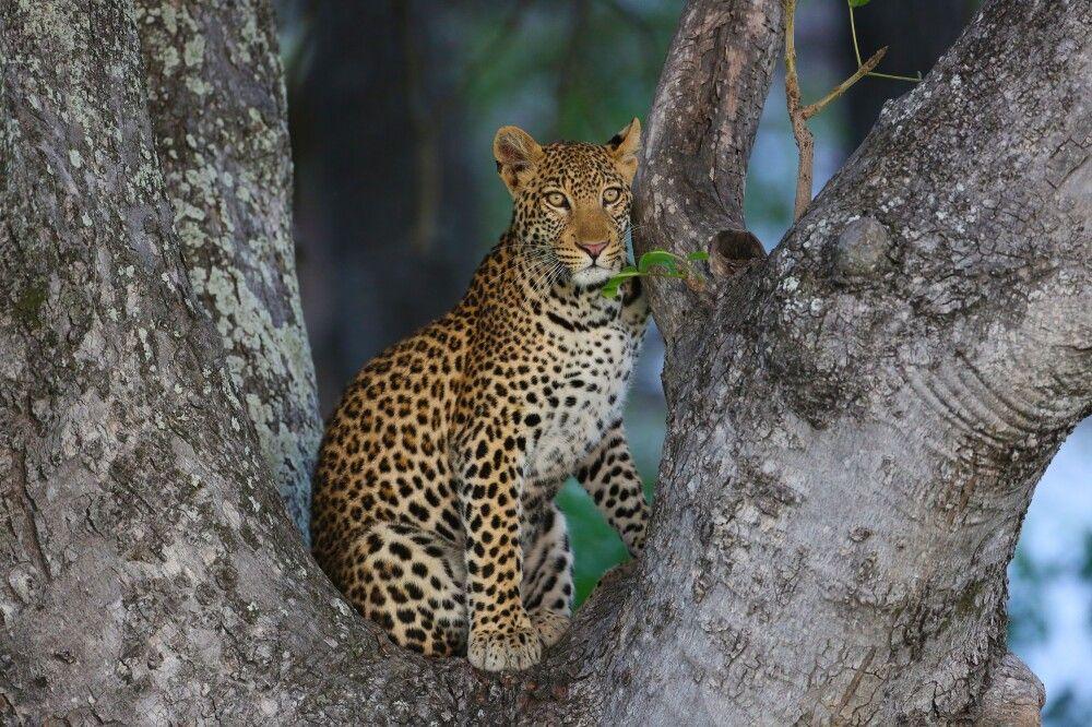 Leopard im Okavango-Delta