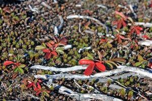 Herbstliche Tundra