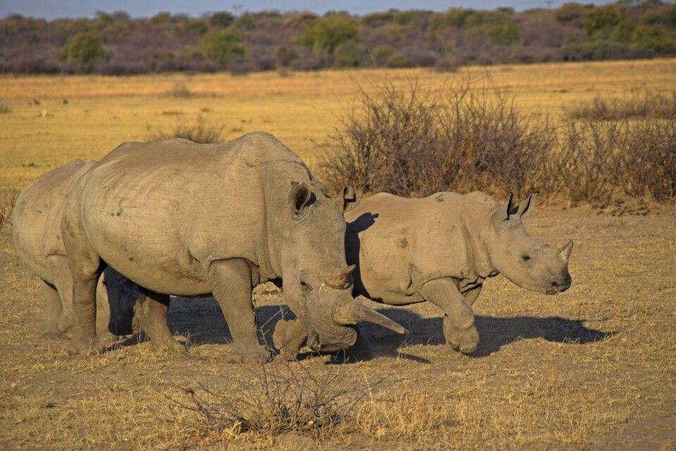 Khama-Rhino-Sanctuary: Refugium für Breit- und Spitzmaulnashörner