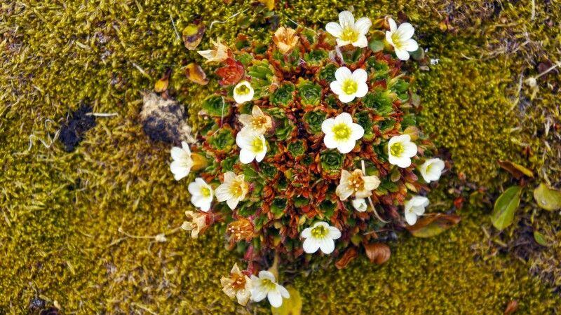 Zarte Arktis-Flora © Diamir