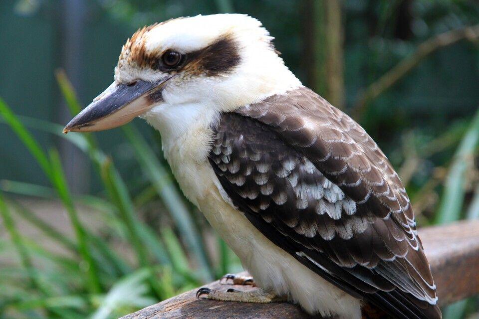 Ruhig sitzt er da - ein Kookaburra