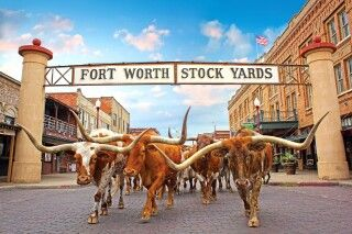 Viehherde in den Stockyards, Fort Worth, Texas