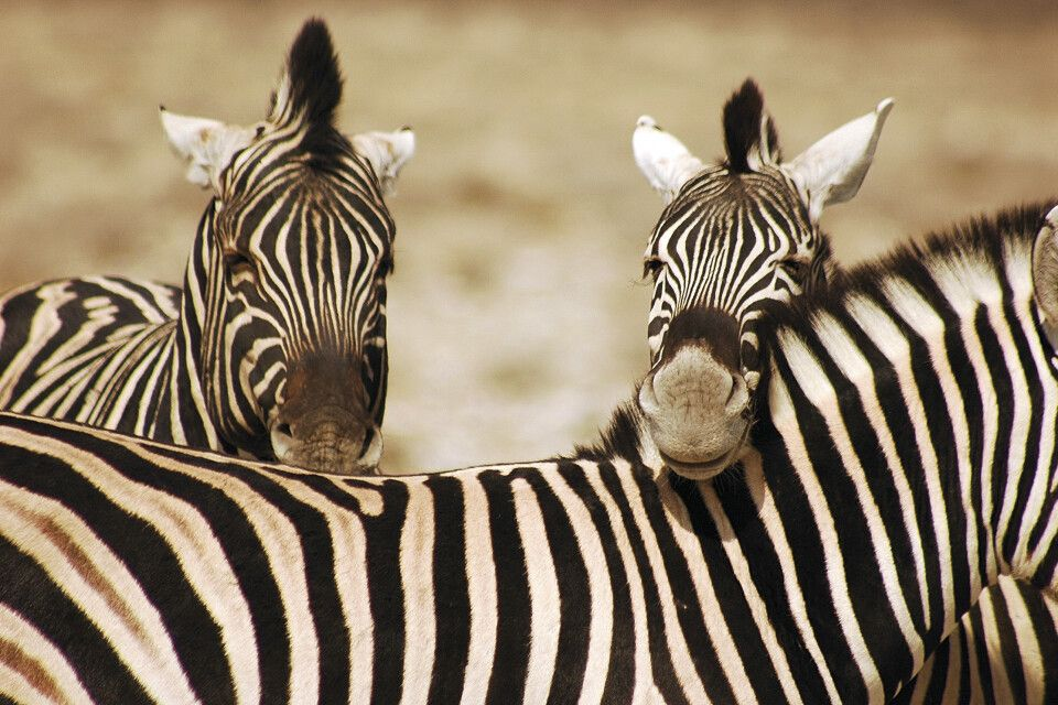 Zebra im Etosha-Nationalpark