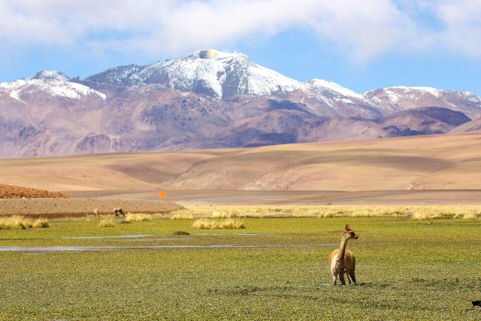 Vicuña vor malerischer Bergkulisse